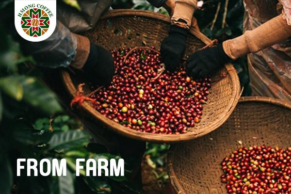 Hành trình cà phê từ nông trại