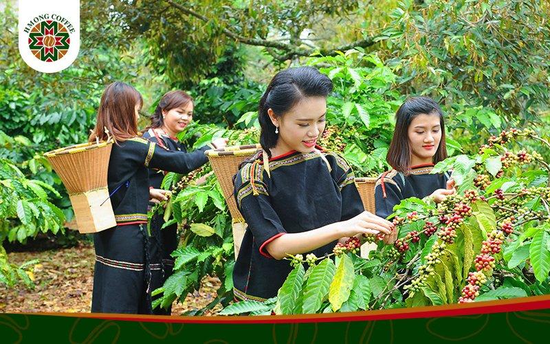 Quá trình thu hoạch cafe của người HMong